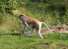 Patas-Affe, Erythrocebus patas Lizenzfreies Stockfoto