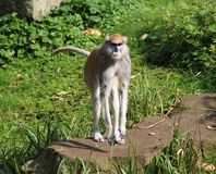 Patas-Affe, Erythrocebus patas Stockfotos