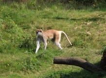 Patas-Affe, Erythrocebus patas Lizenzfreies Stockbild