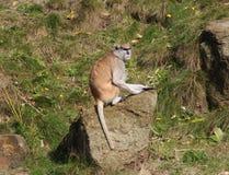 Patas-Affe, Erythrocebus patas Lizenzfreie Stockbilder