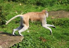 Patas-Affe, Erythrocebus patas Stockbilder