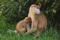 Patas-Affe Erythrocebus patas Lizenzfreie Stockfotos