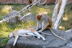 Patas-Affe Erythrocebus patas Stockfotos