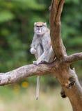 Patas-Affe (Erythrocebus patas Lizenzfreies Stockbild