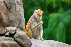 Patas-Affe Erythrocebus patas, die auf dem Felsenessen sitzen Lizenzfreies Stockfoto