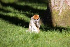 Patas-Affe, Erythrocebus patas, Leben hauptsächlich aus den Grund Lizenzfreie Stockfotografie