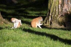 Patas-Affe, Erythrocebus patas, Leben hauptsächlich aus den Grund Lizenzfreies Stockfoto