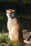 Patas-Affe, Erythrocebus patas, Leben hauptsächlich aus den Grund Stockbilder