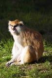 Patas-Affe, Erythrocebus patas, Leben hauptsächlich aus den Grund Lizenzfreie Stockfotos