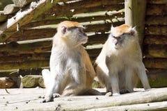 Patas-Affe, Erythrocebus patas, Leben hauptsächlich aus den Grund Stockfotos