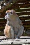 Patas-Affe, Erythrocebus patas, Leben hauptsächlich aus den Grund Lizenzfreies Stockbild