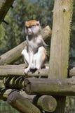 Patas-Affe, Erythrocebus patas, Leben hauptsächlich aus den Grund Stockfotografie
