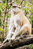 Patas-Affe - Erythrocebus patas - sitzend auf der Niederlassung und dem ob Lizenzfreies Stockbild