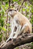 Patas-Affe (Erythrocebus patas) sitzend auf der Niederlassung und dem obse Stockbild