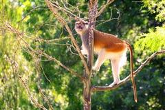 Patas-Affe Erythrocebus patason Baum Lizenzfreies Stockbild