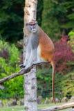 Patas-Affe oder Militäraffe Stockfoto