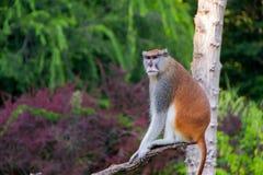 Patas-Affe oder Militäraffe Stockbild