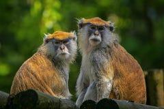 Patas apa som är gullig, apa, stående royaltyfria foton