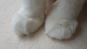 Patas brancas do gato da fotografia Pés de gato fotos de stock royalty free