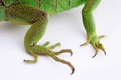 Patas da iguana no fundo branco Fotos de Stock