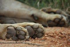 Patas de los leones Imagenes de archivo