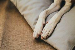 Patas del perro del basenji en la almohada Imagen de archivo