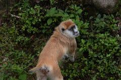 Patas del scimmia-Erythrocebus della fine-Patas della coda Fotografie Stock Libere da Diritti
