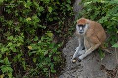 Patas del scimmia-Erythrocebus di Patas Immagini Stock