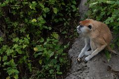 Patas del scimmia-Erythrocebus di Patas Fotografia Stock