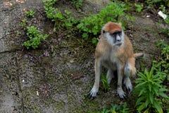 Patas del scimmia-Erythrocebus di edificio occupato-Patas Immagini Stock