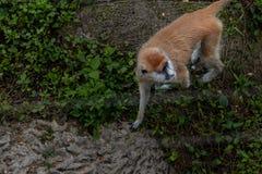 patas del scimmia-Erythrocebus di foraggiamento-Patas Immagini Stock