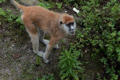 patas del scimmia-Erythrocebus di foraggiamento-Patas Fotografia Stock Libera da Diritti