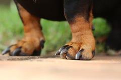 Patas delanteras del fox terrier Fotos de archivo libres de regalías