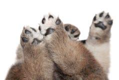 Patas do filhote de cachorro do cão no fundo branco Fotografia de Stock Royalty Free