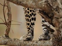 Patas dos leopardos Fotos de Stock