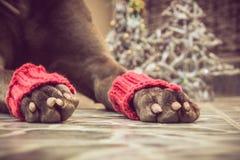 Patas liying do cão do Natal imagens de stock royalty free