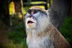 Patas małpa zdjęcia stock