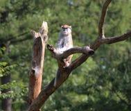 Patas małpa, Erythrocebus patas zdjęcia royalty free