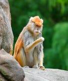 Patas małpuje Erythrocebus patas siedzi na rockowym łasowaniu zdjęcie stock