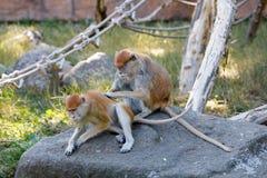 Patas małpy Erythrocebus patas fotografia royalty free