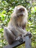Patas małpa Fotografia Stock