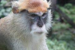 Patas Małpa Zdjęcie Stock