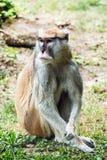 Patas małpy portret - Erythrocebus patas Fotografia Stock