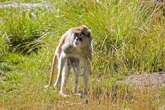 Patas Monkey. A Patas monkey on the plains stock image