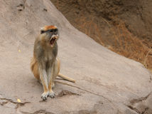 Patas Monkey. A Patas Monkey with mouth wide open showing his sharp yellow teeth Stock Images
