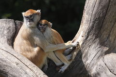 Patas monkey. The Patas Monkey (Erythrocebus patas), also known as the Wadi monkey or Hussar monkey, is a ground-dwelling monkey distributed over West Africa Royalty Free Stock Image