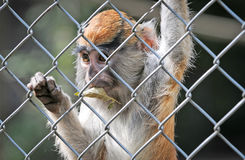 The patas monkey Stock Photos