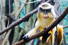 Patas Monkey. With a bad right eye royalty free stock photos
