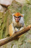 Patas Monkey Royalty Free Stock Photo