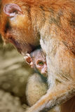 Patas Monkey with Baby Royalty Free Stock Images